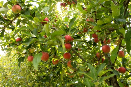 Ripening red apples on orchard tree