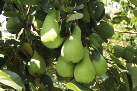 Ripening pears on orchard tree Stock Photo
