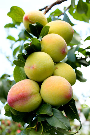 Ripening peaches on orchard tree