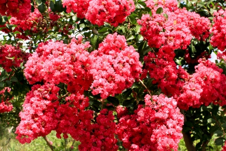 myrtle green: Pink Crepe Myrtle blossom tree flowers Stock Photo