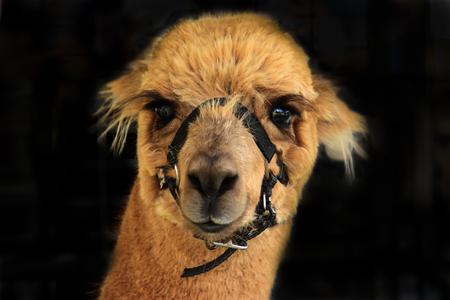 Pet alpaca llama isolated