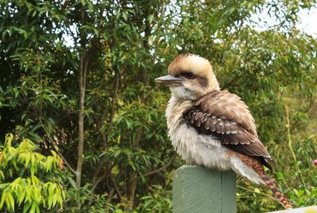 Australian kookaburra on garden post