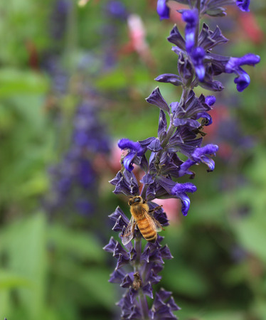 Honey bee on purple lavender flower