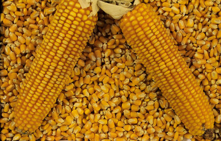 Ripe corn cobs surrounded by kernels