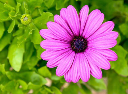 Pink and purple daisy flower against green foliage