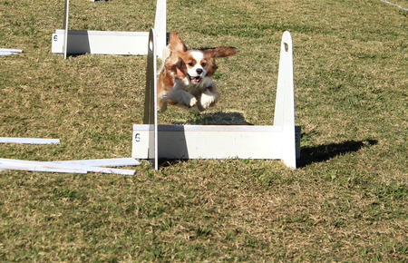 Pet dog racing over jump in agility course