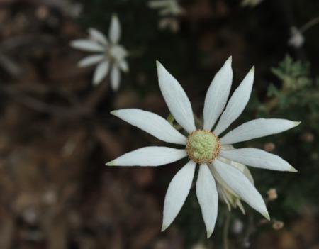 Australian native white Flannel Flower in bush setting Stock Photo