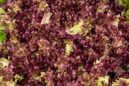 Coral lettuce salad leaves healthy meal