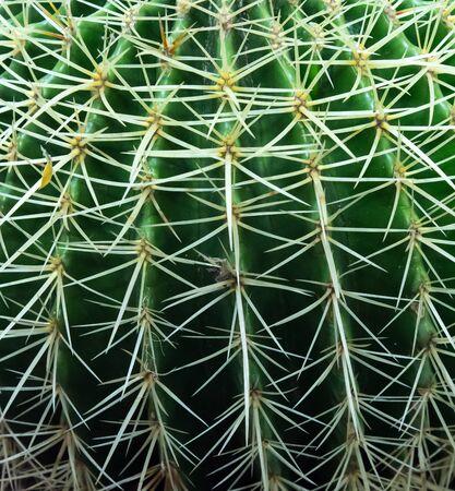 Golden barrel cactus close up ideal for background