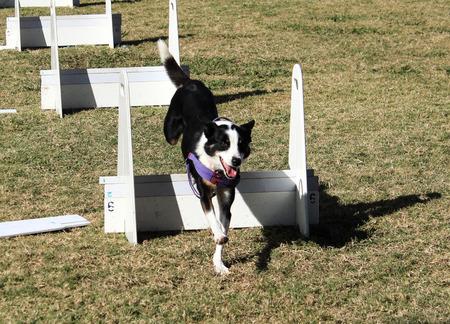 Black white pet dog jumping through agility course race Stock Photo