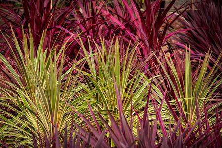 Red Green cordyline grass plants