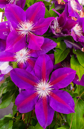 Purple flower blooms on clematis plant