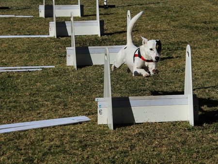 Dog jumping post in agility course race