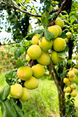 Ripening peaches on tree in fruit orchard