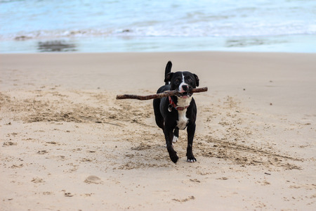 Dog with stick in mouth running on beach Stock Photo