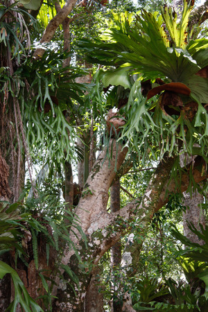 Stag horn ferns attached to rainforest trees Stock Photo