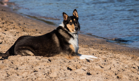 Smooth Collie purebred dog on beach