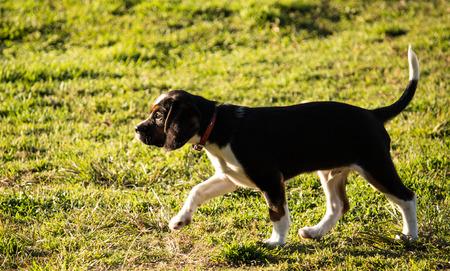 Purebred beagle puppy dog walking on grass Stock Photo