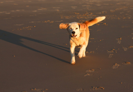 beagle mix: Beagle mix breed dog running on beach Stock Photo
