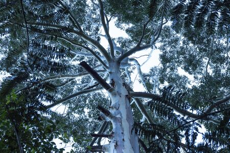 Australian eucalyptus gum tree canopy Stock Photo