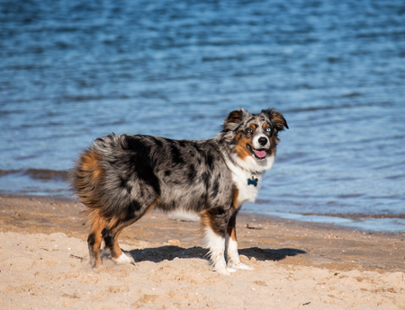 pure bred: Australian Shepherd pure bred puppy dog on beach