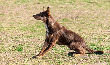 Australian pure bred kelpie dog Stock Photo