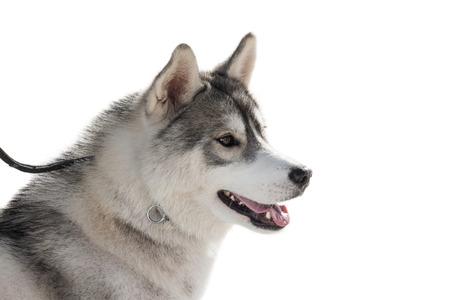 Purebred husky dog isolated on white background Stock Photo