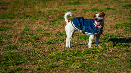 Jack Russell terrier pet dog in grass field Stock Photo