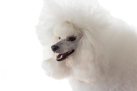White purebred poodle pet dog isolated on white