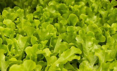 Green lettuce leaf seedlings Stock Photo