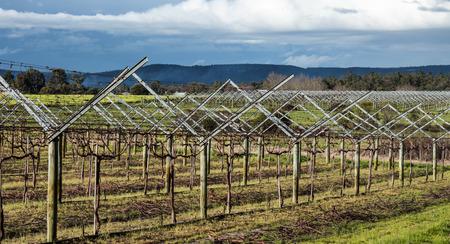 Grape vineyard plantation on trellis frames