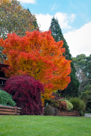 Autumn fall trees in garden Mt Tomah Botanical Australia