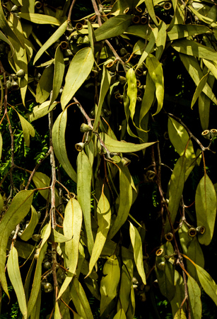 Green eucalyptus gum tree leaves ideal as background Stock Photo