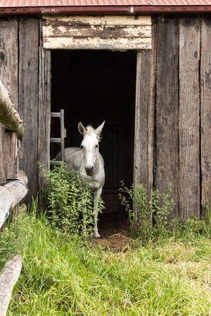 White farm horse standing in doorway of old wooden barn Stock Photo