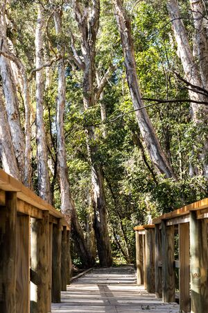 Wooden nature boardwalk surrounded by tall eucalyptus gumtrees Stock Photo