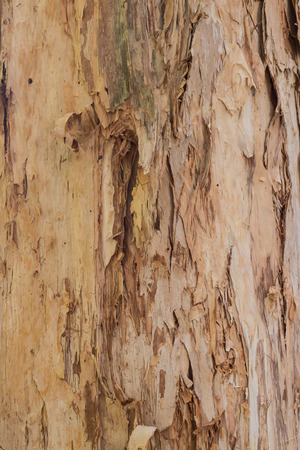 Close up textures of peeling bark on eucalyptus gum tree ideal as nature background