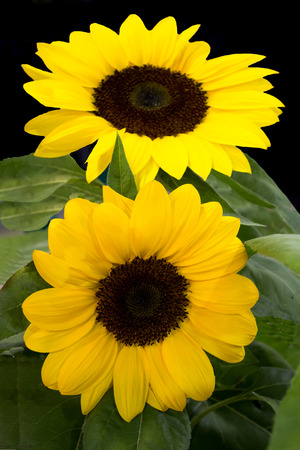 Pair bright yellow sunflowers isolated with green foliage