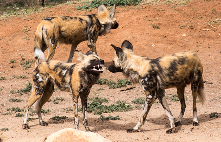 African Wild Dogs growling showing teeth in group of three standing on red dirt Stock Photo