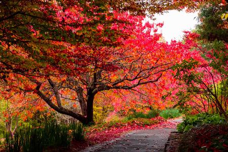 Autumn fall leaves on trees beside pathway at Mt Tomah botanical gardens, Blue Mountains, Australia Stock Photo