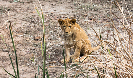 Young African lion cub sitting behind grass reeds Stock Photo