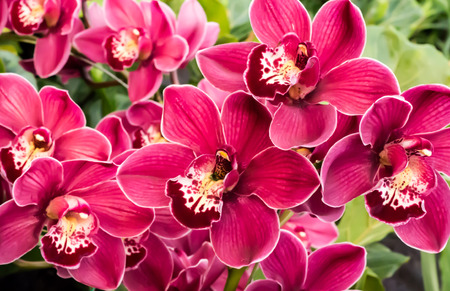 Red, pink and white orchid flower blossoms against green foliage