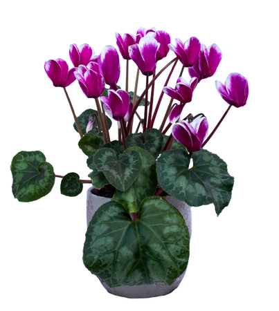 Pink and white cyclamen plant with many flower blossoms isolated on white background