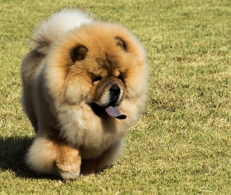 Purebred Chow Chow pet dog with blue tongue walking on grass Stock Photo