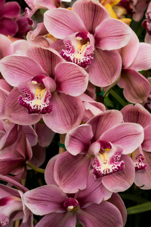 Pink and white tropical cymbidium orchid flower blossoms