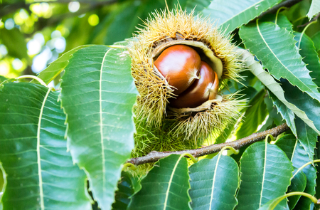 Ripening chestnut fruit in seed pod on tree against green leaf foliage Stock Photo