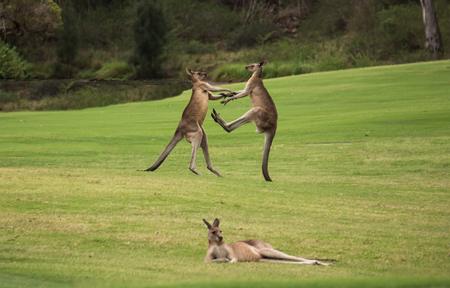 2人の男性オーストラリア出身のカンガルーが、休息中の女性カンガルーの後ろの草原で戦っている