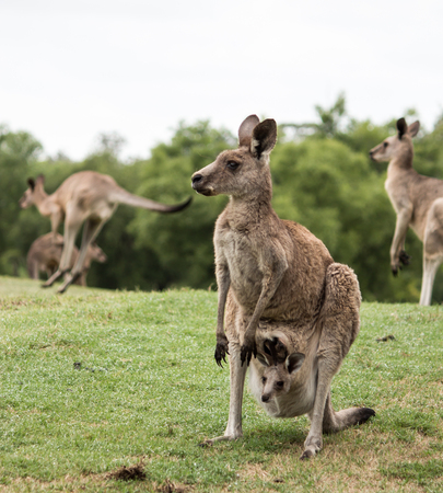 Australian native Kangaroo mother with baby joey in pouch standing in field