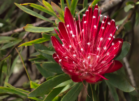 Red tropical flower blossom on Protea bush against green leaves