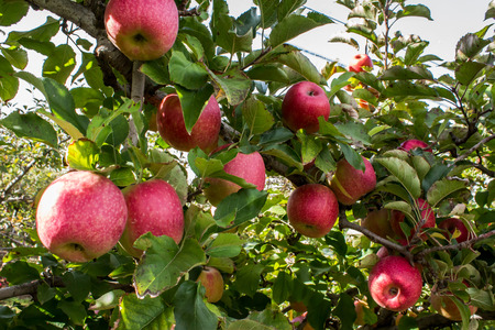 Apple tree bursting with ripening red fruit in farm orchard