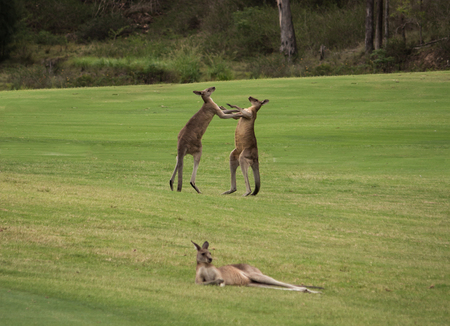 Two male Australian kangaroos fighting in grass field with female kangaroo resting in foreground